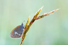 Coenonympha arcania (~Simmy~) Tags: morning summer orange macro nature animal animals closeup butterfly germany insect deutschland tiere nikon