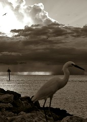 Jetty BW (DonMiller_ToGo) Tags: rain birds clouds jetty egret bwphotography gf1 fav5 views100 views200 views300 flickrandroidapp:filter=none