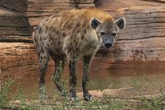 dripping wet (ucumari photography) Tags: sc laughing zoo october south columbia carolina spotted hyena riverbanks 6570 2013 specanimal ucumariphotography hyenahyena