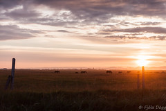 Sunset in ykkvibr (Fjola Dogg) Tags: sunset sky naturaleza nature iceland islandia natureza natur natuur natura nopeople sland nttra islande izland sk islanda islndia naturen icelandichorse hestar southiceland ijsland icelandichorses naturae slsetur naturalesa islanti izlanda ykkvibr islann