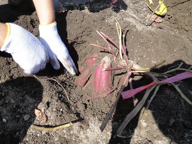 今年は選んだツルが大当たりだったようで、掘り始めてからすぐ。|海南こどもの国