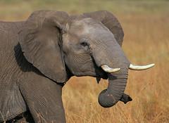 Twist and shout! (Rainbirder) Tags: kenya ngc npc africanelephant maasaimara loxodontaafricana rainbirder