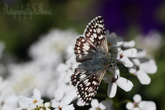 Having Lunch (thomask8) Tags: flowers plants white flower color green floral canon butterfly garden insect outdoors photography october colorado colorful purple bokeh gardening bloom wildflowers blooming wildanimals photoshopelements gardennature whitephotographygardennaturenature
