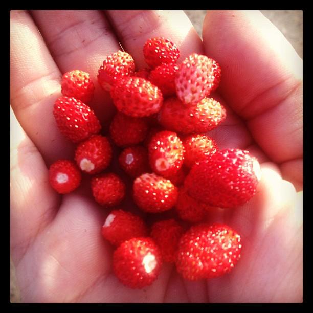 Markjordbær #markjordbær #molund #mostadmark #minkunst