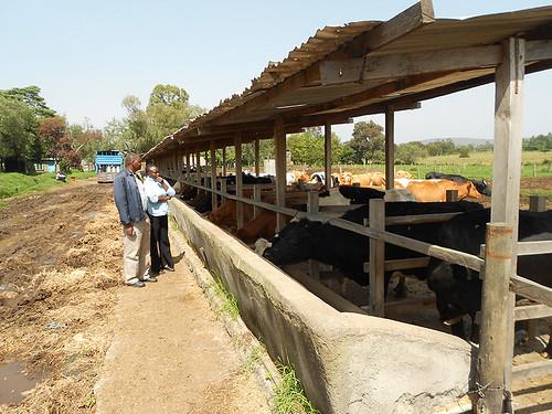 Dairy near Lannet, Nakuru County