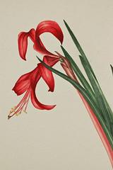 James Deane Watercolor (David McCudden) Tags: watercolor botanical james deane tuberousbegonias jamesdeane botanicalwatercolorpainting westlongbranchnewjersey