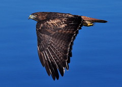 Red-tailed Hawk in flight, Bayside State Marina, SLOCO 18Nov13 BushPhoto (2) (aviac) Tags: hawk raptor morrobay redtailed redtailedhawk birdinflight morrobaystatepark stateparkmarina