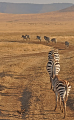 Tanzania - Ngorongoro Crater - zebra (Harshil.Shah) Tags: africa tanzania safari ngorongoro crater zebra