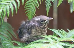 Motionless (bob_katt) Tags: newzealand baby fern bird canon silver northisland aotearoa motionless kapiti paraparaumu 500d
