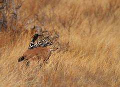 Be careful what you wish for! (Rainbirder) Tags: kenya samburu africanleopard pantherapardus beisaoryx rainbirder