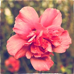 hibiscus (*vanessa.) Tags: pink flowers floral soft pastel blossoms hibiscus dreamy blooms softlight softtones