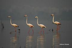 flamingos (rohinishitole) Tags: birds flamingos maharashtra bigwan