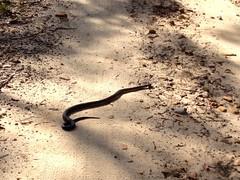 Red-belly black snake ([S u m m i t] s c a p e) Tags: snake bluemountains bushwalking woodford exploratory redbelliedblacksnake oaksfiretrail woodfordrange workoutbg2986d0edk4fr4l54pp workoutbg2986d0edk4fr4l54ppa