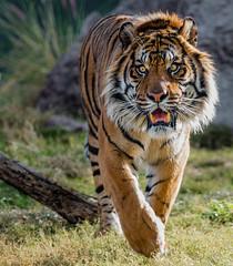 _DSC6760-2 (Tom Traylor) Tags: nikon tiger bigcat phoenixzoo nikon300mmf28 nikond800 top25naturesbeauty