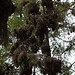 Überwinterungsquartier der Monarchfalter (Danaus plexippus), Piedra Herrada Sanctuary - Valle de Bravo, Mexico