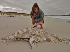 Delphinus delphis (common dolphin): carcass on beach (Roving_photographer) Tags: delphinusdelphis albany carcass decomposing rotting dead stranded commondolphin cyriellemallet
