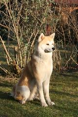 like a proud Akita statue (Samurai-Akita) Tags: sunset dog sun proud japanese hund sit akita sittin inu sitzen stolz obedient sitzend gehorsam gsitz