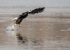Bald Eagle (Collins93) Tags: bird animal eagle dam bald sigma maryland conowingo