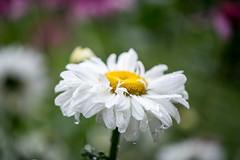 daisy with raindrops (long.fanger) Tags: daisies shastadaisies