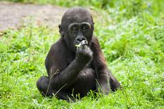 2014-06-28-12h14m32.272P8577 (A.J. Haverkamp) Tags: germany zoo gorilla muenster mnster munster dierentuin demba westelijkelaaglandgorilla httpwwwallwetterzoode pobmnstergermany canonef500mmf4lisiiusmlens dob13012013