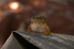 tree frog (hexxual) Tags: macro cute green nature smile nikon frog treefrog frogsmile hexxart