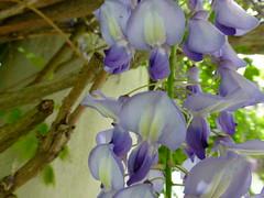 wisteria (army.arch) Tags: flower vine wisteria pergola
