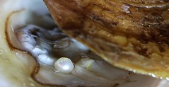 Pearl Factory, Mysterious...( EXPLORED ) (francepar95) Tags: mysteriousmacromondays pearl bead mollusc oyster hmm