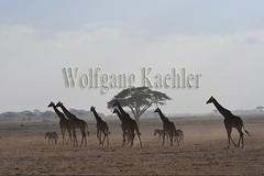 10076056 (wolfgangkaehler) Tags: 2016africa african eastafrica eastafrican kenya kenyan amboseli amboselikenya amboselinatlparkkenya amboselinationalpark wildlife mammal giraffe giraffes giraffacamelopardalistippelskirchi herd tower group burchellszebra burchellszebraequusquagga burchellszebras dust dusty duststorm duststorms