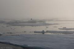 DSC_6520.jpg (Elvar H) Tags: arcticocean helmerhansen siarctic birds ice iceedge