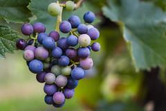 Trauben. (resourcehfh) Tags: licensed sgp30 35mm a6000 blue grapes sony trauben wein wine