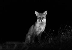 730A9969FOX (cole_mathew) Tags: fox red canon 7dmarkii nighttime portait