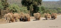 Etiopia. Verso il villaggio...... (francescociccotti1) Tags: animali asini some strada africa mercato trasporti biada fieno