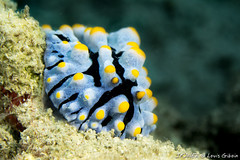 Phyllidia-7101.jpg (lgiboin) Tags: subject puauputri underwater macro indonesia travel nudibranch