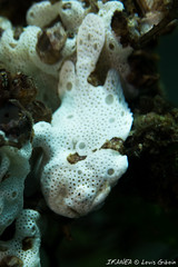 Painted Frogfish-3419.jpg (lgiboin) Tags: fish dumaguete subject underwater macro philippines travel