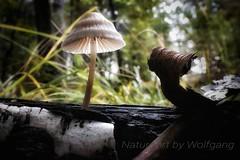 Pilz auf Birke (NatureArt by Wolfgang) Tags: birke pilz wald boden moos herbst sigma dp2 moss birk autumn mushroom fungus fall forest