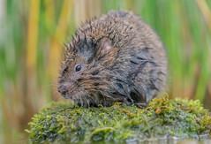 JWL3335  Water Vole.. (jefflack Wildlife&Nature) Tags: watervole vole voles rodent rodents wildlife wetlands waterways rivers riverbanks lakes ponds countryside nature