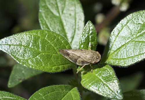Aphrophora alni (Fallén, 1805) - European Alder Spittle Bug_DSC4483