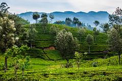 Tea plantations /   (Kochum) Tags: nikon nikkor1870 1870 d90 srilanka tea trees ella nuwaraeliya mountains