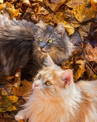 Where has the bird gone ? (FocusPocus Photography) Tags: fynn linus katze kater cat chat gato tier animal haustier pet herbst autumn fall bltter leaves