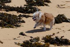 Dodging suspicious looking seaweed (PM Clark) Tags: chihuahua long coat purebred beach coast seaweed marine