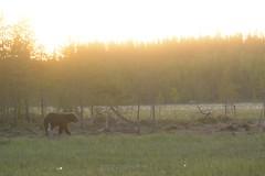 Ourson (Bn Lefort) Tags: bear ours ourson finland finlande finlandia sauvage wild