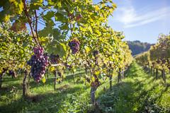 Vineyard (tecgen) Tags: wine wein vine vineyard fellbach stuttgart germany