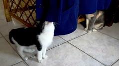 OMEGA Y ARTEMISA JUGANDO AL ESCONDIDO (Dyanaydyth) Tags: cats chat gatos gatto gatitos siameses ojos azules bebe