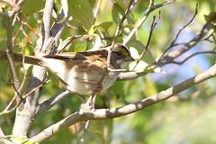 White-throated Sparrow (astro/nature guy) Tags: illinoisbird bird urbanabird meadowbrookparkbird meadowbrookpark sparrow whitethroatedsparrow