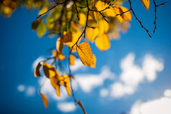butterscotch (ewitsoe) Tags: leaves polishgoldenautumn street city sky blue yello branches ewitsoe nikon d80 35mm season auutmn autumnal poland polska poznan fall lookingup look urban zota jesie