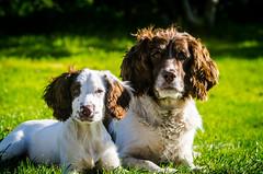 I'll protect you Mollie ! (TrevKerr) Tags: nikon nikond7000 dogs dogportrait springerspaniel