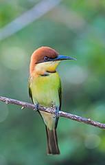 Chestnut-headed Bee-eater (Koshyk) Tags: beeeater chestnutheadedbeeeater sinharaja sinharajarainforest ceylone srilanka
