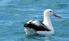 Akaroa. Just outside the harbour in the Pacific Ocean a mighty Royal Albatross. (denisbin) Tags: akaroa crater caldera harbour cliffs french duvauchelle bankspeninsula newzealand christchurch library royalalbatross albatross pacificocean cottage church swimwithdolphins boat anglican