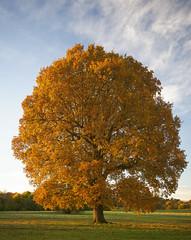 autumn colour (JohnB's photos) Tags: tree countryside nikond610 nikon2470mm nonsuch british autumn