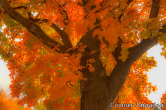 Autumn Maple Leaves (Cramer Imaging) Tags: outdoor outdoors nature natural color colors tree branch branches autumn beautiful orange brown bark leaf leaves fall maple mapletree sky white